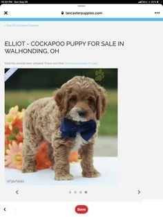 Cockapoo Puppies, Dogs, Animals, Animales, Animaux, Pet Dogs, Doggies, Animal, Animais