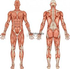 Muscular System Without Labels . Muscular System Without Labels Musculoskeletal System Diagram Without Labels New 7 1 Divisions Human Anatomy Picture, Muscle Diagram, Hip Flexor Exercises, Core Exercises, Training Exercises, Psoas Release, Muscular System, Anatomy Poses, Anatomy Male