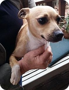 Rockaway, NJ - Chihuahua Mix. Meet Snookie SCAS, a dog for adoption. http://www.adoptapet.com/pet/12118744-rockaway-new-jersey-chihuahua-mix