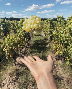 Vu à Chatengrive... une grappe de Sauvignon Blanc joueuse