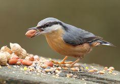 Red-breasted nuthatch (Sitta canadensis) Nuthatches, Witch's Garden, Tweet Tweet, British Wildlife, Little Critter, Wild Birds, Bird Feathers, Animal Kingdom, Beautiful Gardens