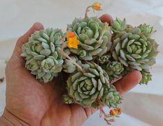plante succulente du genre Sedum à fleurs jaune orangé