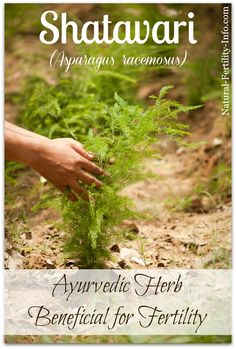 Shatavari: Fertility Herb from India / Plant Medicine Herbs For Fertility, Natural Fertility Info, Natural Healing, Ways To Get Pregnant, Getting Pregnant, Ayurvedic Medicine, Herbal Medicine, Ayurveda, Medicinal Plants