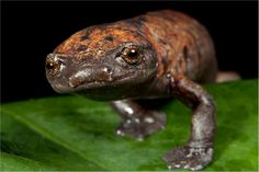 Giant palm footed salamander