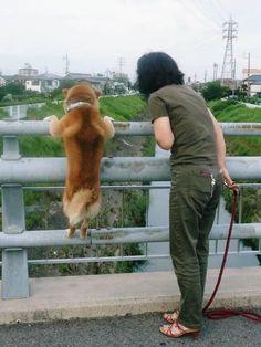 どれどれ… Let me see! Funny Animal Pictures, Funny Animals, Cute Animals, Shiba Inu, Cute Puppies, Dogs And Puppies, Pet Dogs, Dog Cat, Japanese Dogs