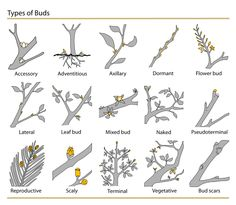 Types of buds: http://greenspade.com/wp-content/uploads/2008/02/511px-plant_buds_clasificationsvg.png