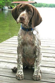 potential next doggie. german shorthair pointer