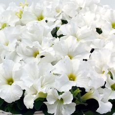 Buy Petunia Seeds from Swallowtail Garden Seeds. Huge selection of 33 upright petunias, and 39 trailing petunias. Single and double flowers. Trailing Petunias, Fall Months, Annual Flowers, Garden Seeds, Small Plants, Kirigami, Flower Seeds, Hanging Baskets, Container Gardening