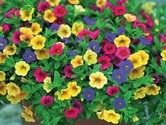1200  SEEDS GARDEN PETUNIA WITH YELLOW FLOWER BONSAI *UK SELER*