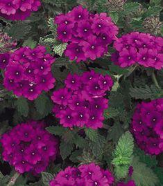 Verbena: la pianta magica - Piante e fiori