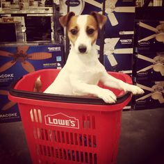Jackson's favorite place to shop! Lowe's! Jack Russell Puppy~Cutest Jack Russell