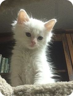 Turkish angora kittens near me