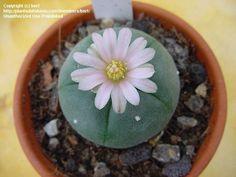 Peyote, Mescal Button, Dumpling Cactus (Lophophora williamsii)