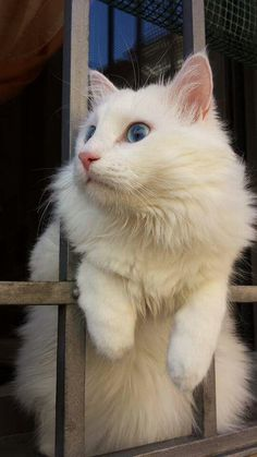 Top 10 Cat Breeds Who Love Water Don't let their delicate, beautiful appearance fool you. Like their cousin the Turkish Van, the Turkish Angora is fond of water and will play in it readily. Turkish Van Cats, Turkish Angora Cat, Angora Cats, Beautiful Cat Breeds, Beautiful Cats, Cat Anatomy, Cat Aesthetic, Cat Facts, White Cats