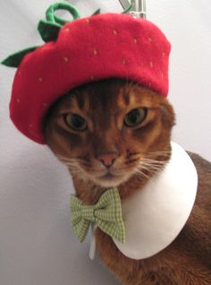 cat in a strawberry beret