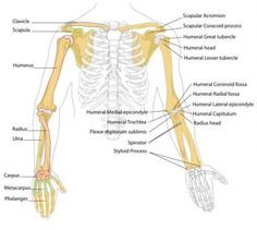 humanarmbones