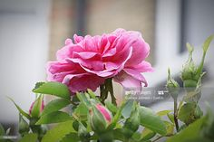 Stock Photo : Close-Up Of Pink Flowers Blooming Outdoors Any Images, Still Image, Royalty Free Images, Close Up, Pink Flowers, Presentation, Bloom, Outdoors, Stock Photos