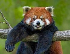 Милашка Малая панда - Google Търсене