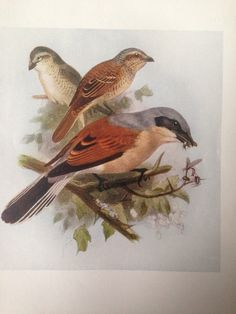 1907 RED-BACKED SHRIKE bird antique print, colour, original, vintage by NinskaPrints on Etsy https://www.etsy.com/uk/listing/256194163/1907-red-backed-shrike-bird-antique