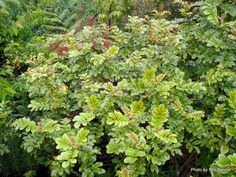 Ackama rosifolia (Makamaka) A graceful small tree with beautiful leaves, bronze-green above, pinkish-red beneath. Panicles of cream flowers in spring develop into bright pinkish-red seed capsules in Summer. Plants, Garden, Tree, Native Plants, Shrubs, Flowers, Small Trees, Landscape, Garden Landscaping