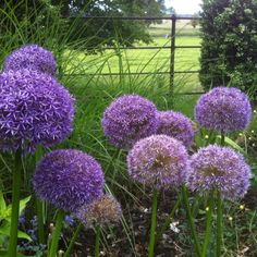 Lovely Alliums at Charlecote Park