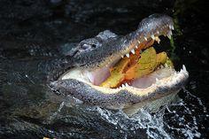 Gator Eats Pond Apple, Everglades National Park, Florida (pinned by haw-creek.com)