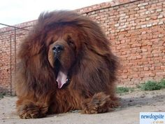 Some of the things we all like about the Dignified Big Mastiff Dogs Giant Dog Breeds, Giant Dogs, Large Dog Breeds, British Mastiff, English Mastiff, Mastiff Puppies, Dogs And Puppies, Red Tibetan Mastiff, World's Most Expensive Dog