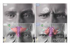 Anatomy Next - Anatomy of Head & neck: Secrets Facial Anatomy, Head Anatomy, Anatomy Poses, Anatomy Study, Body Anatomy, Anatomy Reference, Human Face Drawing, Human Anatomy Drawing, Facial Expressions Drawing