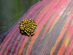 ...and fauna. A ball of Yellow and Black Orb Garden spiderlings on a red canna plant, Santa Cruz. [canna cultivated, spiders wild]