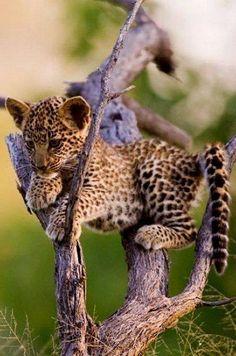 A Leopard Cub.