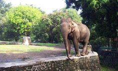 Ragunan. Gajah Sumatra.