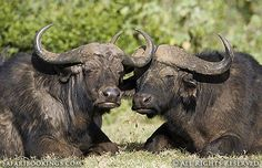 Two African #buffalo doze in the early evening sun @ Aberdare National Park in #Kenya. For a #Aberdare travel guide visit www.safaribookings.com/aberdare. With reviews, maps  photos.