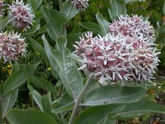 asclepias speciosa- 3', full sun, water well first summer and ignore. Dies back.
