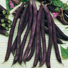 GD024100 Pflanzen - Gemüsepflanzen - Hülsenfrüchte - Stangenbohne Blauhilde (65g)