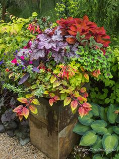 Coleus 'Sedona', Heuchera 'Spellbound', 'Gartenmeister' Fuchsia, Oxalis 'Iron Cross', Golden Feverfew, Fuchsia 'Autumnale', 'Purple Heart' Setcresea, Blue Anagalis, Blue 'Techno Heat' Lobelia, Violet New Guinea Impatien.) The combination above sits in a cool location on the north side of the house