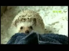 Pets 101 Hedgehogs.....they are SO damn cute!!!