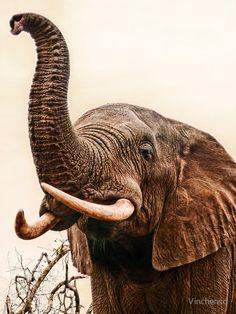 Elephant Trunk Up, Elephant Face, African Elephant, African Animals, Photo Elephant, Elephant Images, Elephants Photos, Save The Elephants, Nature Animals