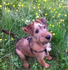 Irish Terriers just have to be the cutest puppies!