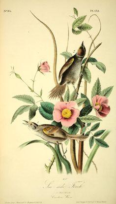 v 3 - The birds of America : John J Audubon, 1840 - Biodiversity Heritage Library