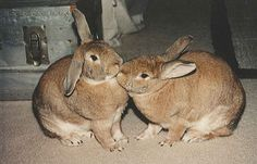 Rabbits are social animals and can teach each other behaviors. Best Small Pets, All About Rabbits, Rabbit Information, Rabbit Behavior, Small Pet Supplies, Rabbit Breeds, Pet Rabbit, Habitats, Bunny