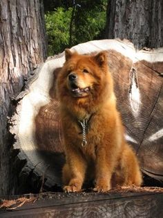 Time for adventure in the forest! This Chow Chow is looking so cool