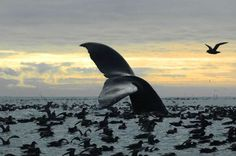 7, 2005 photo released by National Oceanic and Atmospheric Administration shows a humpback whale diving among an aggregation of short-tailed shearwaters in Cape Cheerful, near Unalaska, Alaska. The federal government is proposing removing most of the world's humpback whale population from the endangered species list. National Oceanic and Atmospheric Administration Fisheries announced on Monday, April 20, 2015 that they want to reclassify humpbacks into 14 distinct populations, and remove 10…