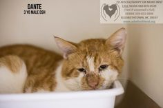 Dante is an adoptable Cat - Domestic Short Hair searching for a forever family near Elizabethown, NC. Use Petfinder to find adoptable pets in your area.