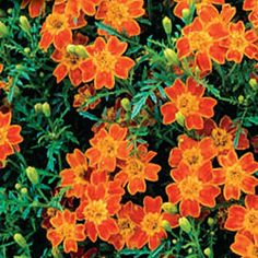 Tagetes tenuifolia 'Paprika'  NEW!  Non-stop display of small, daisy-like blooms with gold centers. Citrus-scented foliage adds to the appeal of this perfect container flower. The flowers and leaves have a citrus taste, ideal for adding to salads, sandwiches, seafood dishes or hot desserts. Tagetes may be harmful if eaten in large amounts. Germination: 7-21 days, 68-77F. Well-drained soil. 8-12in