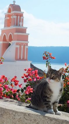 Santorini - there's lots of feral cats here. More cats to love. I Love Cats, Crazy Cats, Cute Cats, Funny Cats, Funny Animals, Mykonos, Oia Santorini, Beautiful Cats, Beautiful Places