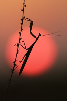 Rising Sun of the Mantis