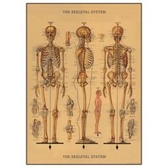 Vintage Poster/Wrap - Skeletal System