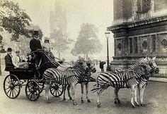 Als die Streifen noch liefen: Diese feine Gesellschaft hat sich 1898 keine Pferde, sondern Zebras vor die Kutsche gespannt. Ein halbes Jahrhundert später setzte sich das Zebra dann in ganz Europa durch - allerdings als Fußgängerüberweg.