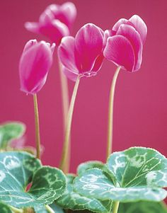 National Flower of Italy! The Pink cyclamen flower!  #Italian Living  #AdeaEveryday