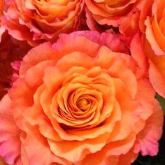 """""""Free spirit"""" Rose...."""".. my favorite rose"""